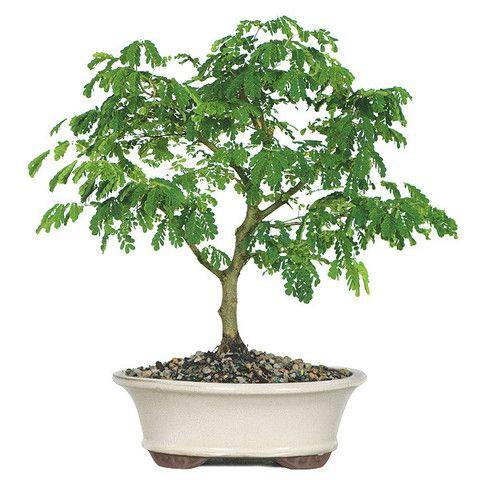 """来自苗圃树批发商的巴西雨盆景树是一个美丽的盆景树的典型例子,具有异国情调的外观和名称。就像在你自己的后院有一片雨林。有趣的是,您可以直观地看到这棵树响应树周围的环境条件。这是你拥有一个没有实际拥有一个气象站的最近的地方!当温度很高时叶子会变暗,下雨时会开始折叠��关闭。这些为天气敏感的朋友提供完美的礼物!年龄:4岁身高:10""""至16""""体验:非常适合初学者推荐地点:户外阳光充足想知道更多?请阅读我们完整的巴西雨盆景树护理表!"""