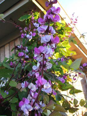 风信子藤。我们种植这些来覆盖我们的凉棚。在第一季快速增长到大约20英尺!