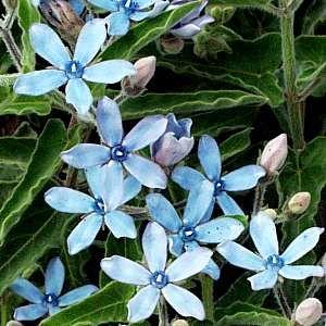 买20朵蓝星或蓝花乳草藤种子~Tweedia caerulea种子 - 异国藤蔓种子R15.00