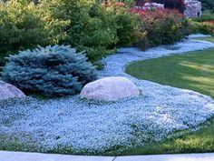 蓝星爬行者是一种快速生长的太阳,可以遮挡地面覆盖物 - 这种或爱尔兰苔藓用于后院代替草地