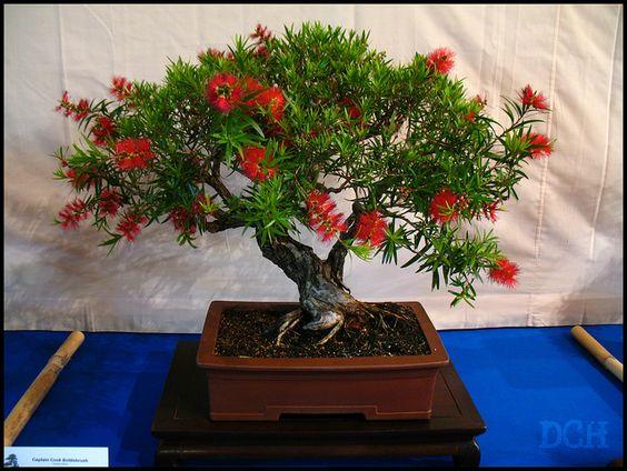 虽然松树,枫树和杜松是经典的盆景树,但他们发现一些澳大利亚本土物种也工作得很好。我不确定专家种植者会如何看待这一种(我认为它可能在新手部分),但这是我的最爱之一。西澳大利亚盆景学会年度盆景展。弗里曼特尔,西澳大利亚州。