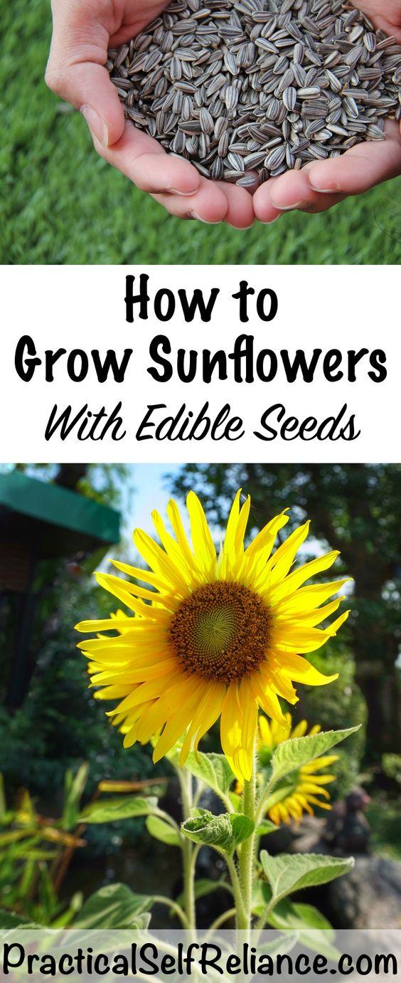 种植向日葵和种植可食用的葵花籽之间存在很大差异。这些天你种植在花园里的大多数向日葵都是为了生产令人惊艳的,持久的花朵而开发的......但种子的方式并不多。想要收获葵花籽的园丁在选择品种时需要小心,你需要...阅读更多