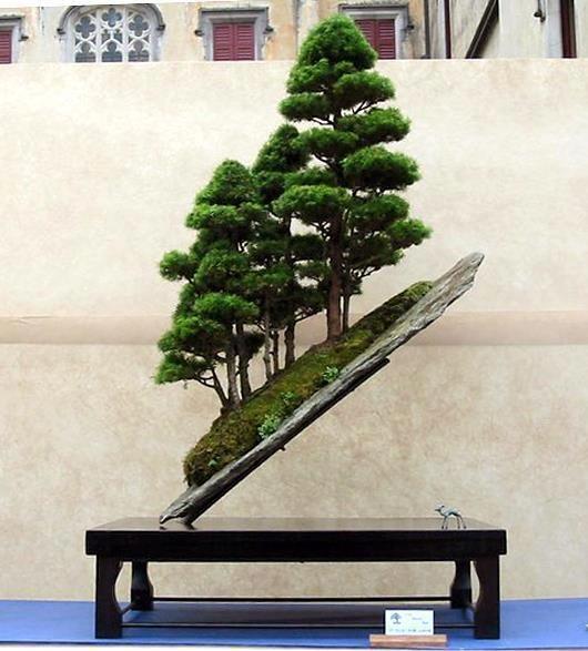 我最喜欢的盆景树之一,非常特别! #bonsai #japan