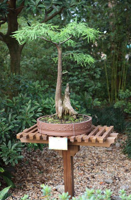 在Epcot国际花卉和花园节日期间,盆景树在日本馆展出。