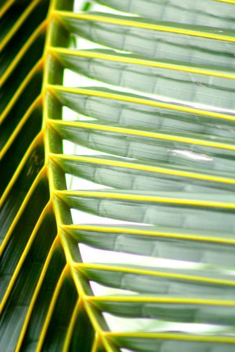 Coconut Palm Frond...