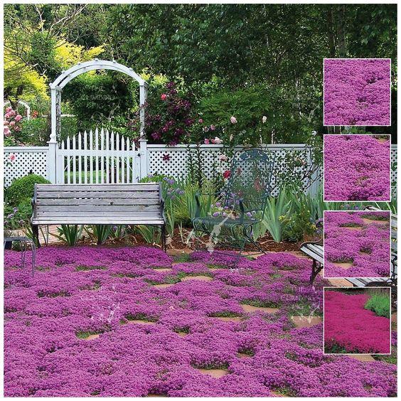 匍匐百里香'紫雨'|有力而坚硬的地面覆盖物|甜香花|令人惊叹的颜色|在澳大利亚大部分地区生长|完整的太阳部分阴影|可从The Climbing Fig Online Garden Store购买