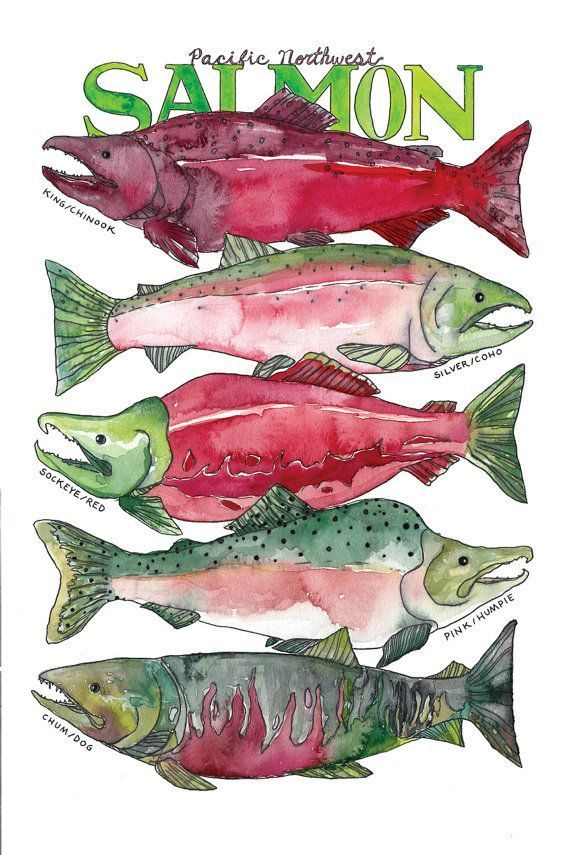 Pacific Northwest Salmon Watercolor: Need a gift for the fisherman in your life? Hang this salmon illustration up to brighten any room
