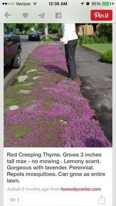 """一种低生长,蔓延的植物,在整个夏天都有紫红色的花朵,红色的爬行百里香(Thymus praecox""""Coccineus"""")的高度只有3到6英寸,但是蔓延的12 ..."""