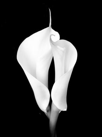 两个白色马蹄莲百合摄影打印