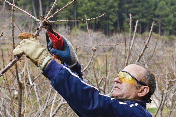 所有的果树都需要修剪,樱桃树也不例外。知道何时修剪樱桃树和切割樱桃的正确方法是否是一种有价值的工具。在这篇文章中了解更多关于樱桃树修剪护理。