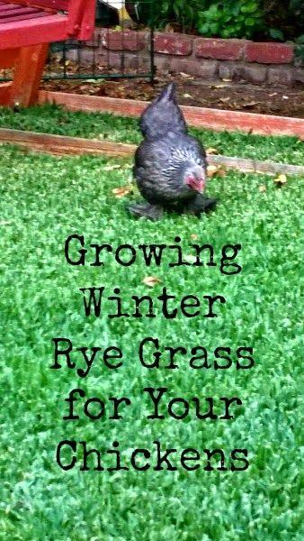 关于种植冬天黑麦草的技巧为后院鸡。