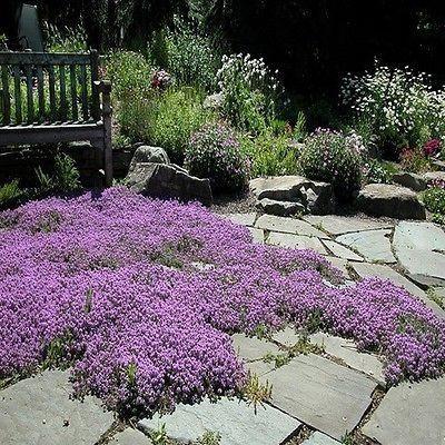 爬行百里香(Thymus Serpyllum Magic Carpet) - 如果您有踏脚石路径或石板露台,种植魔术地毯种子是将可爱的低增长百里香添加到人行道上的好方法,p