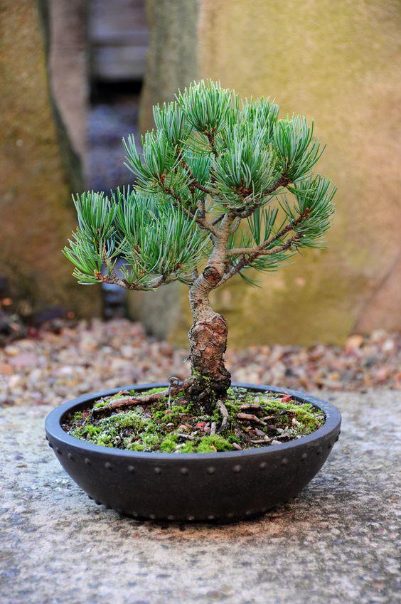 日本白松,Shohin盆景树(Pinus parvifolia)。几年前从约翰郡的约翰汉比盆景苗圃购买作为一部分训练有素的盆景树。它由嫁接到日本黑松砧木上的白松木切割而成。这只小松子已经准备好了,可能会在春天放入适当的陶瓷盆栽盆中。它所在的锅是云母培养罐���土壤表面的苔藓是自种的。土壤是盆栽堆肥,日本Akadama土壤和砂砾的自由排水混合物。树高:7英寸高。相机:尼康D300镜头:尼康18-200MM F3.5-5.6G IF-ED AF-S VR DX我用我的照片作为我的绘画的灵感和参考,可以在这里看到:www.stevegreaves.com