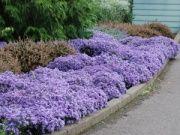 地面覆盖植物的阳光或阴影!景天草如Sedum,Heucheras,观赏草和KnockOut Roses都是快速增长的。