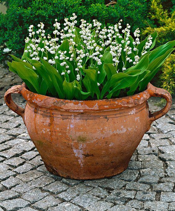 """爱百合谷(Convallaria majalis),它可以传播 - 解决方案,把它放在锅里。也是""""多年生的一种美妙的地面覆盖物,四月和五月非常芳香的花朵出现,它们非常适合在野生或林地花园种植,或用于潮湿阴影边缘的地面覆盖物,形成密集的群落,一生。"""""""