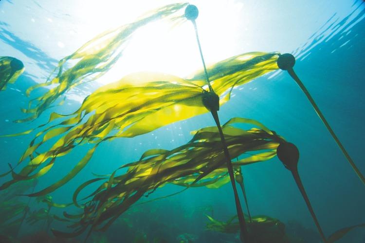 underwater photo of Nereocystis luetkeana seaweed by Nick Norman / National Geographic