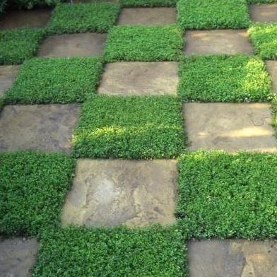 买百里香serpyllum种子 - 爬行百里香种子 - 地面覆盖R0.35
