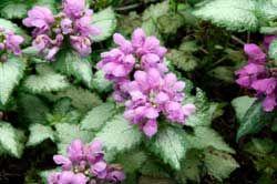 在种植床上添加地面覆盖多年生植物可以带来有趣的颜色和纹理。