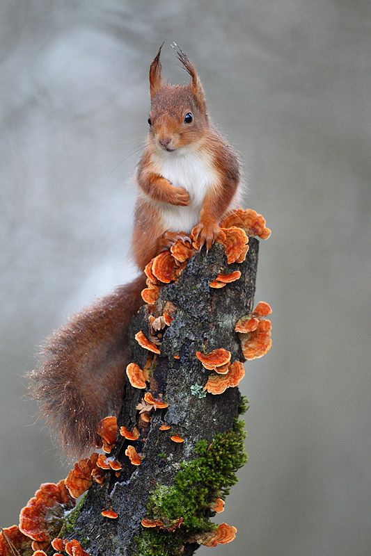 ~~ Red squirrel by Christophe Salin~~