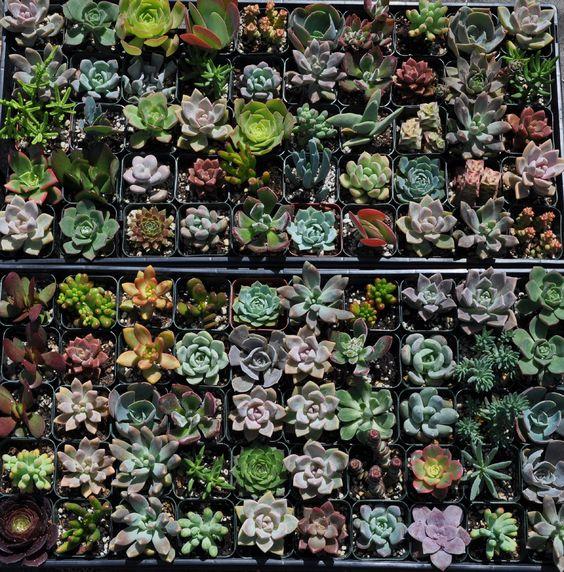 """美丽的多汁植物为婚礼中心,favors和花束。享受乐趣,为您的客人提供迷人而美丽的核心展示和优惠,将它们添加到您的花束中。 Echeveria,Aeonium,Crassula,Kalanchoe,Sedum,Senecio,Cotelydon,Graptoveria,Pachyveria是您的订单中可能包含的一些内容。 **包括每36个植物1个热量包,订购更多25个以下的温度,见下文******************************* ************************************************** ********如果到达时温度低于34度,请保护您的植物每隔10度以下使用一个72小时热量包.34。在此购买:http://www.etsy.com/listing/ 63238465如果预计到达时间框架的温度低于34度,我将保留运费并定期检查您当地的预测。 ************************************************** ***************************************我所有的植物都是在我自己的后院种植的,我使用更安全的品牌昆虫杀戮肥皂,而不是化学杀虫剂。我将每株植物单独包裹���薄纸中以便安全抵达。此套餐至少包含15种,具体取决于当时的可用品种。如果您参加活动,请注意您的首选抵达日期。我建议提前一周或更短时间内收到它们。订单可以提前很远,如果您想要预付定金(25美元不可退款)并在发货前支付余额,这里有一个列表:https://www.etsy.com/listing/130087388他们到达在他们的2""""塑料托儿所锅中,只需打开包装,给他们一个良好的浸泡,并把它们放在明亮的过滤阳光下。如果你想提前看电子版或使用,我会发送优先邮件并附上护理说明在为客人制作自己的小说明时,请告诉我。我可以做更大更小的包装,如果你没有看到你想要列出的数量,只需给我发一条定制订单的信息。这些植物大多来自我的太阳如果您想要所有阴凉处或阳光和阴影植物的混合物,请告诉我。绝大多数的遮荫植物都是绿色的阴影。所有的多肉植物都要避免燃烧炎热的中午太阳( 85度以上),但在一天的剩余时间内提供明亮的阳光。避免光线不足的情况在室内。更多的阳光会给你最好的色彩......它们......"""