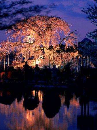 日本的美丽:樱花树