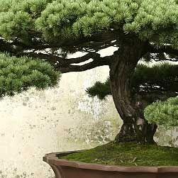 通过我们有用的盆景护理指南,了解如何照顾盆景树和开花植物。