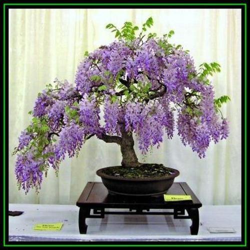 买5 Wisteria sinensis  - 中国紫藤盆景种子+免费种子和盆景电子书 - 异国情调为R47.50