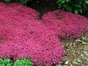 太阳地被植物耐旱植物!快速生长,易于护理的地面覆盖物,如Heucheras,观赏草和KnockOut玫瑰。