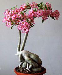 沙漠玫瑰盆景沙漠玫瑰盆景树
