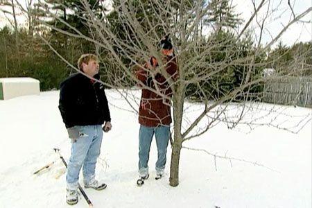 在这个操作视频中,This Old House景观承包商Roger Cook展示了如何修剪树木以实现最佳生长和水果生产