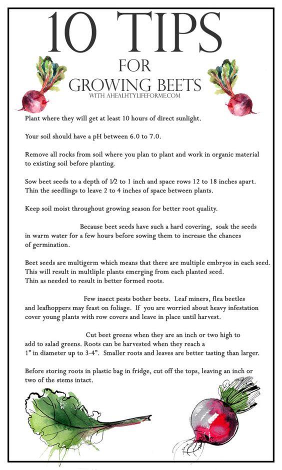 种植甜菜的10个技巧