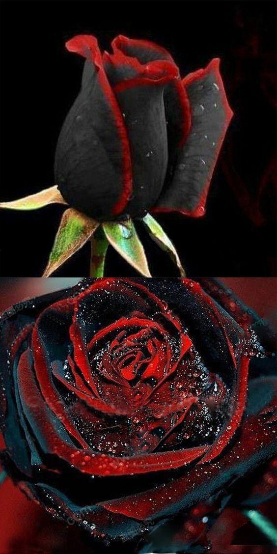 US $ 4.49+免费送货.100片黑玫瑰种子,花卉种子,盆景,多年生,珍稀花卉,每个花瓣都有特殊的红色边缘。