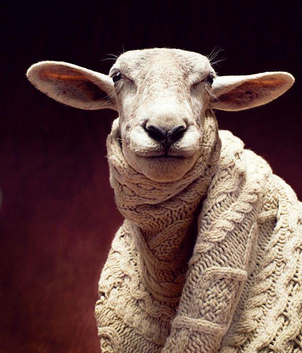 羊在针织物中。但是当然。