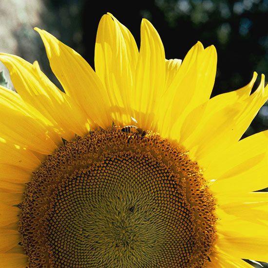 获取黄色花名称和不断增长的信息,为您的景观添加欢快,阳光灿烂的黄色植物。