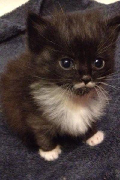 巧克力色猫 - 点击加载猫和小猫的绝佳照片,肯定会带来微笑的你的脸。