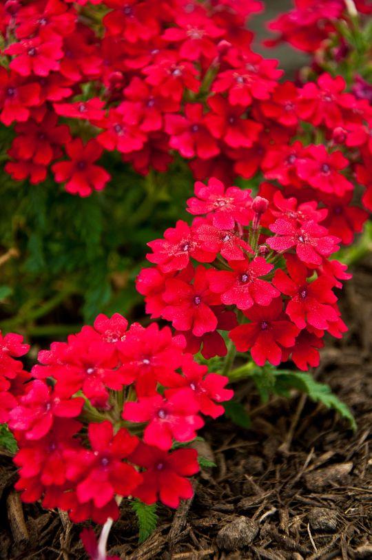 圆形岩石花园植物配置文件:德克萨斯州开花植物以下是我们目前在我们的蝴蝶园种植的开花植物清单。他们中的许多人是得克萨斯州的土着人,...
