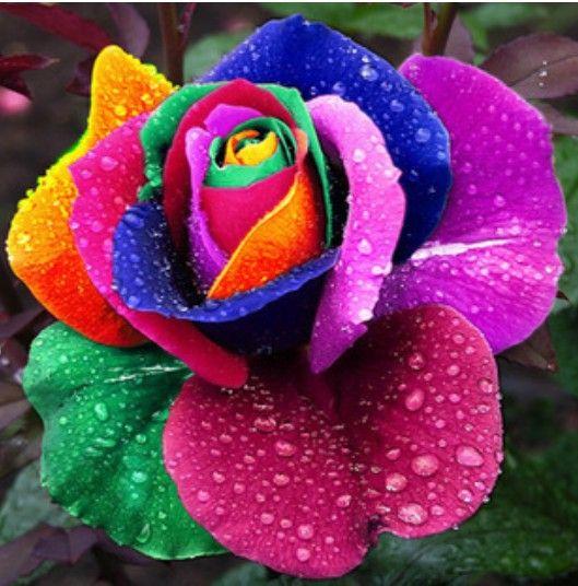 廉价种子制造商,直接从中国种子花购买优质种子420供应商:美丽彩虹玫瑰种子多色玫瑰种子R ...
