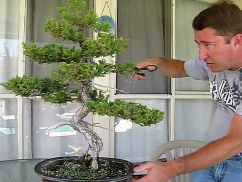 如何修剪盆景树。盆景树需要定期修剪以保持其大小并将其塑造成所需的样式。有两种类型的修剪:维护修剪,保持树小,鼓励新的增长,以及......