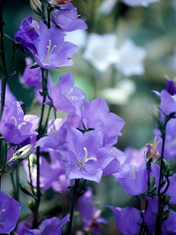 这些浪漫的植物是浪漫的平房式花园的必备之处。