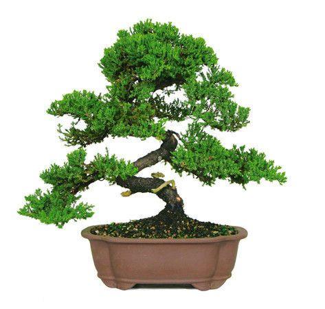 """来自苗圃树批发商的Green Mound Juniper Bonsai Tree是迄今为止美国最受欢迎的盆景。当大多数人想到""""盆景树""""时,会想起这幅美丽盆景的照片。弯曲的树枝和树干的自然流动运动似乎捕捉了盆景艺术的原则,这种艺术经过数千年的精心制作并从日本传下来。 Green Mound Juniper的叶子质地和形状使这个��景非常容易修剪和雕刻,以满足您的个人喜好。这些桧木也倾向于对不太理想的条件宽容,这种特性使它们特别受欢迎。请放心,这棵树肯定会让人头疼,对于初学者和专家来说都是经过验证的,永恒的赢家。经验:非常适合初学者推荐地点:室外*请注意:可悲的是,州农业法规禁止我们将桧木运往加利福尼亚州。口渴更多?请阅读GREEN MOUND JUNIPER BONSAI CARE SHEET"""