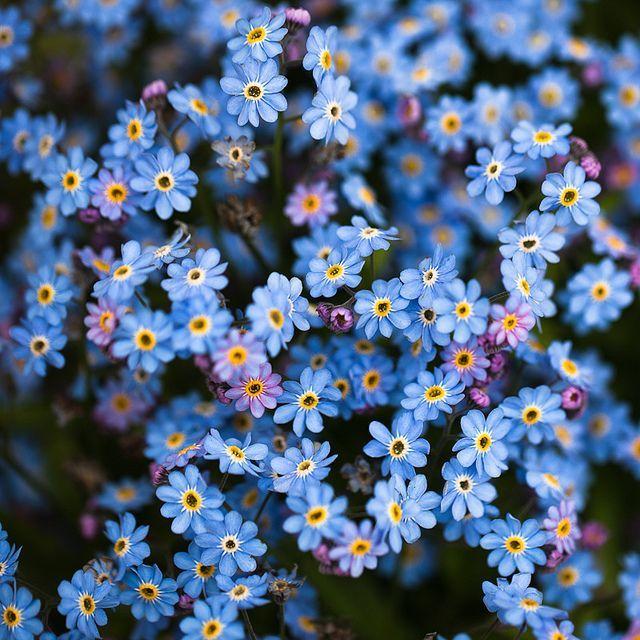 Little Blue Flowers.