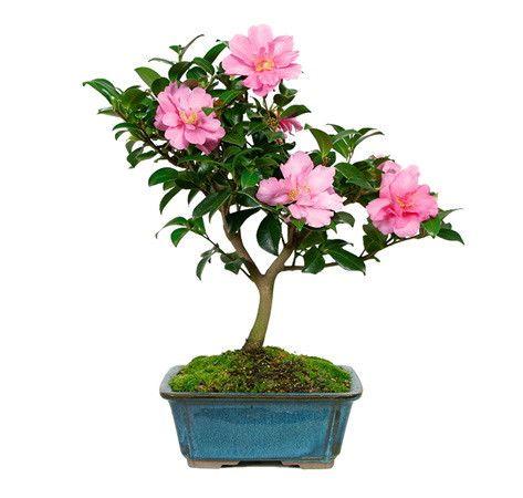 """来自苗圃树批发商的山茶花盆景树是一种独特的树,从深秋到早春一次又一次地绽放出深红色到粉红色的花朵。在寒冷的冬季,你需要健康的颜色吗?这棵树,被专家亲切地称为""""热门闪光"""",肯定不会让你失望。它是一种生长缓慢的常绿植物,始终是客户的最爱。绽放:秋季 - 春季年龄:5岁身��:8""""至10""""经验:非常适合初学者推荐地点:外部想了解更多信息?点击这里查看CAMELLIA BONSAI TREE CARE SHEET"""