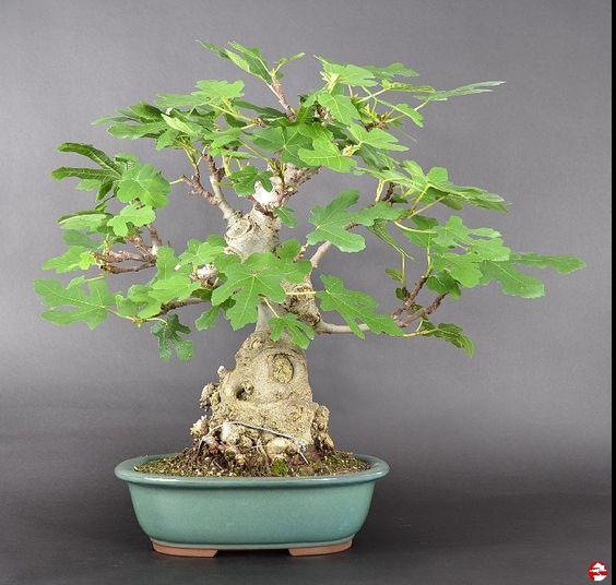 盆景室内 - 亚热带盆景 -  Ficus carica,Real Fig Tree  - 我们的产品概述·Bonsai School Enger