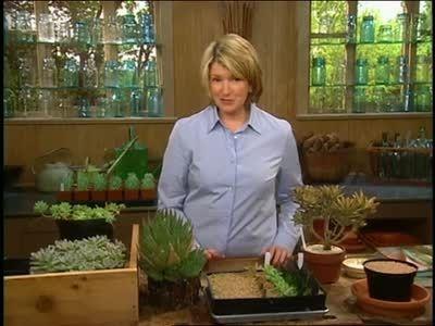 玛莎斯图尔特创造和繁殖多汁植物。