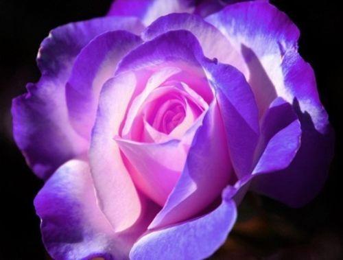 15稀有窒息玫瑰丛播种。 ·耐寒区域:5-11·在凉爽的气候中,它可以在室内过冬以保护它·美丽的绽放·高度:3-4英尺·宽度:3英尺·强烈的香味·绽放春天直到霜增长:1)放置玫瑰种子首先进入冰箱30天2)准备土壤。我们通常使用松散,透气和潮湿的土壤,以便它可以与蛭石,泥炭,水苔,珍珠岩,刨花或您选择的种植介质混合。任何土壤都可以正常工作,只要它没有异物,如鹅卵石,碎砖,玻璃,塑料碎片等。 3)将种子浸泡在40摄氏度(104华氏度)的水中约4-6天。 4)4-6天后,将种子放入土壤中。温度应在20°C至35°C(68°至95°F)之间。首先放一层薄薄的薄膜,然后在薄膜顶部放入4-6厘米的土壤。将种子放在土壤上,然后用2厘米的额外土壤覆盖种子。将另一层薄膜放在土壤上。保持土壤湿润但不会过饱和。通常玫瑰需要30天才能发芽。 5)种子发芽后,将幼苗移到更大的空间或地上。温度应保持在18°至40°C(64°至104°F)之间。