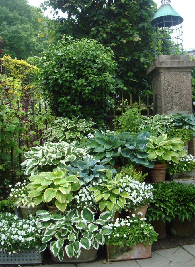 hostas in containers with white impatiens dispersed throughout...