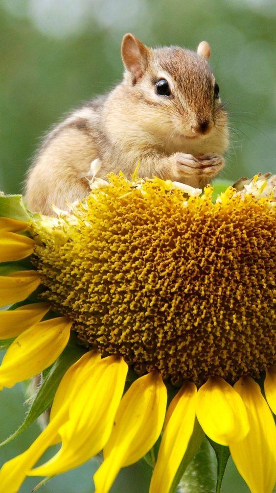 吃向日葵种子的花栗鼠。