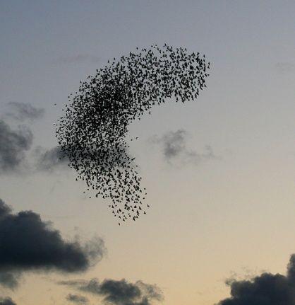 Starlings in tight flight formation. (photo by amberlight1 via flickr.com) #flock #avain #birds