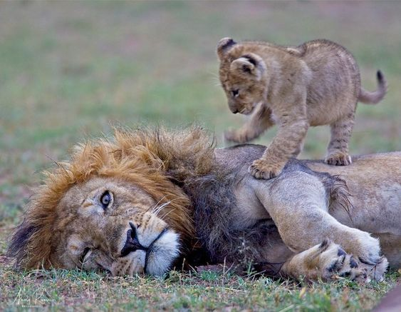 使用与爸爸的小的幼狮。一只眼睛突然露出,表明他的耐心可能会变瘦。