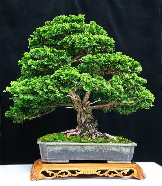 在我们获得盆景树最优惠的价格之前......让我们为您介绍这个奇妙植物的背景信息。盆景是日本人在容器中种植树木或树木形状的木本植物的艺术。一棵盆景树让...